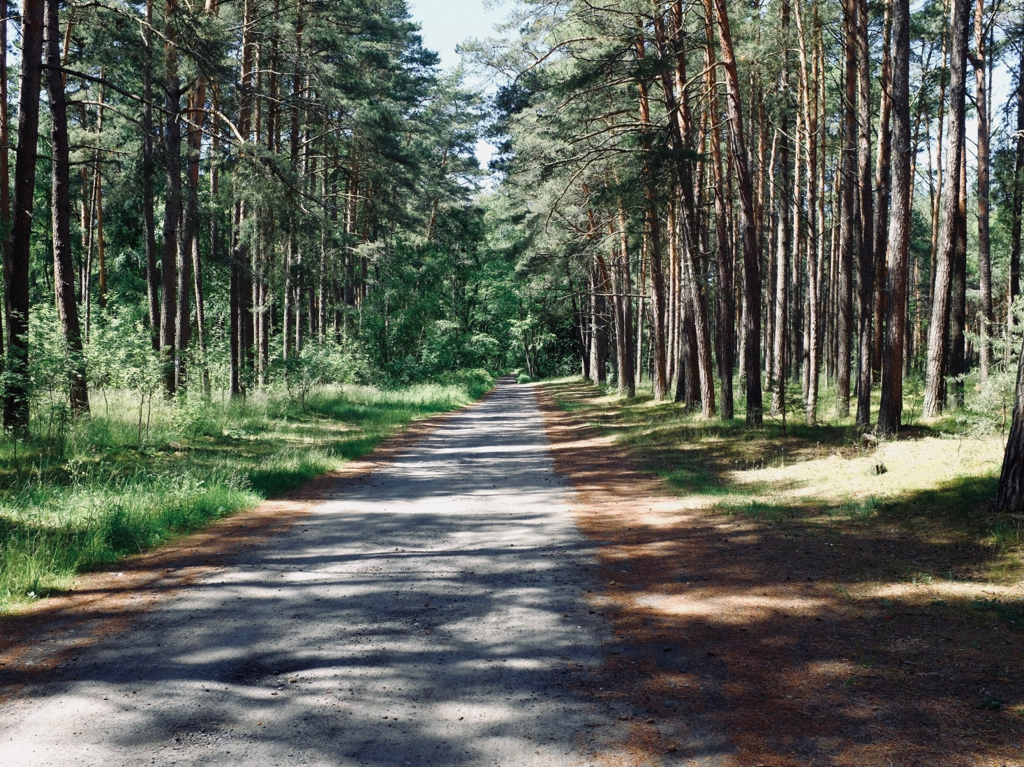 A white sand road through pine forests, the Curonian Spit, north from Kaliningrad, Russia.
