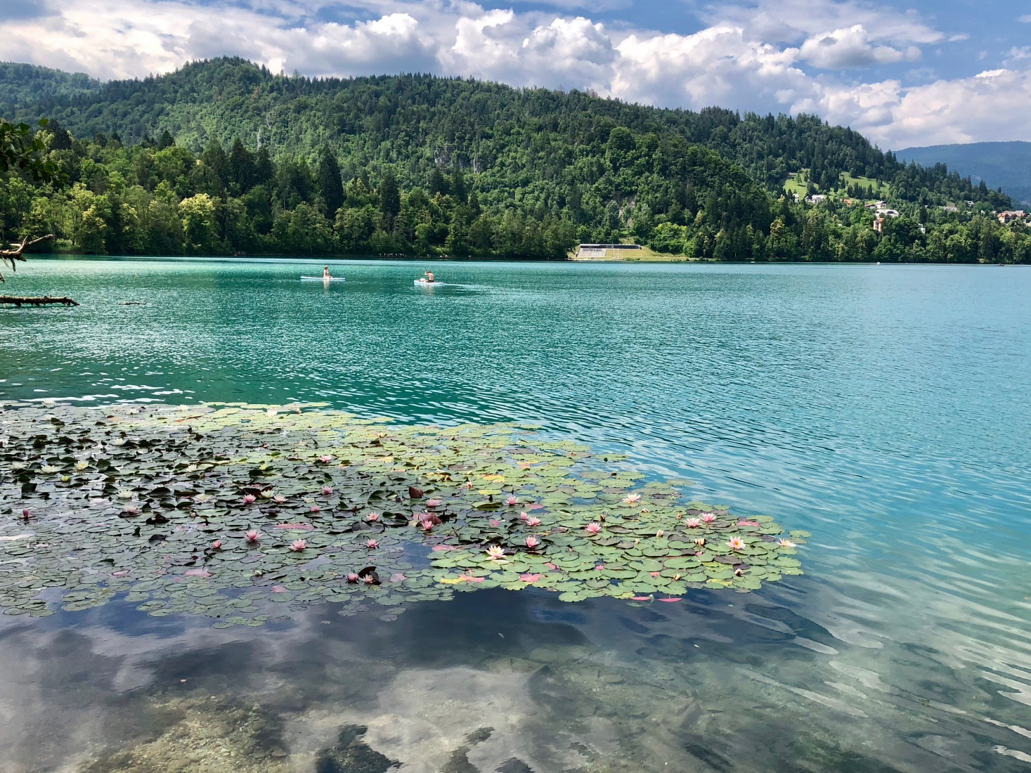 Water lilies on the southwestern shore of Lake Bled, Slovenia.