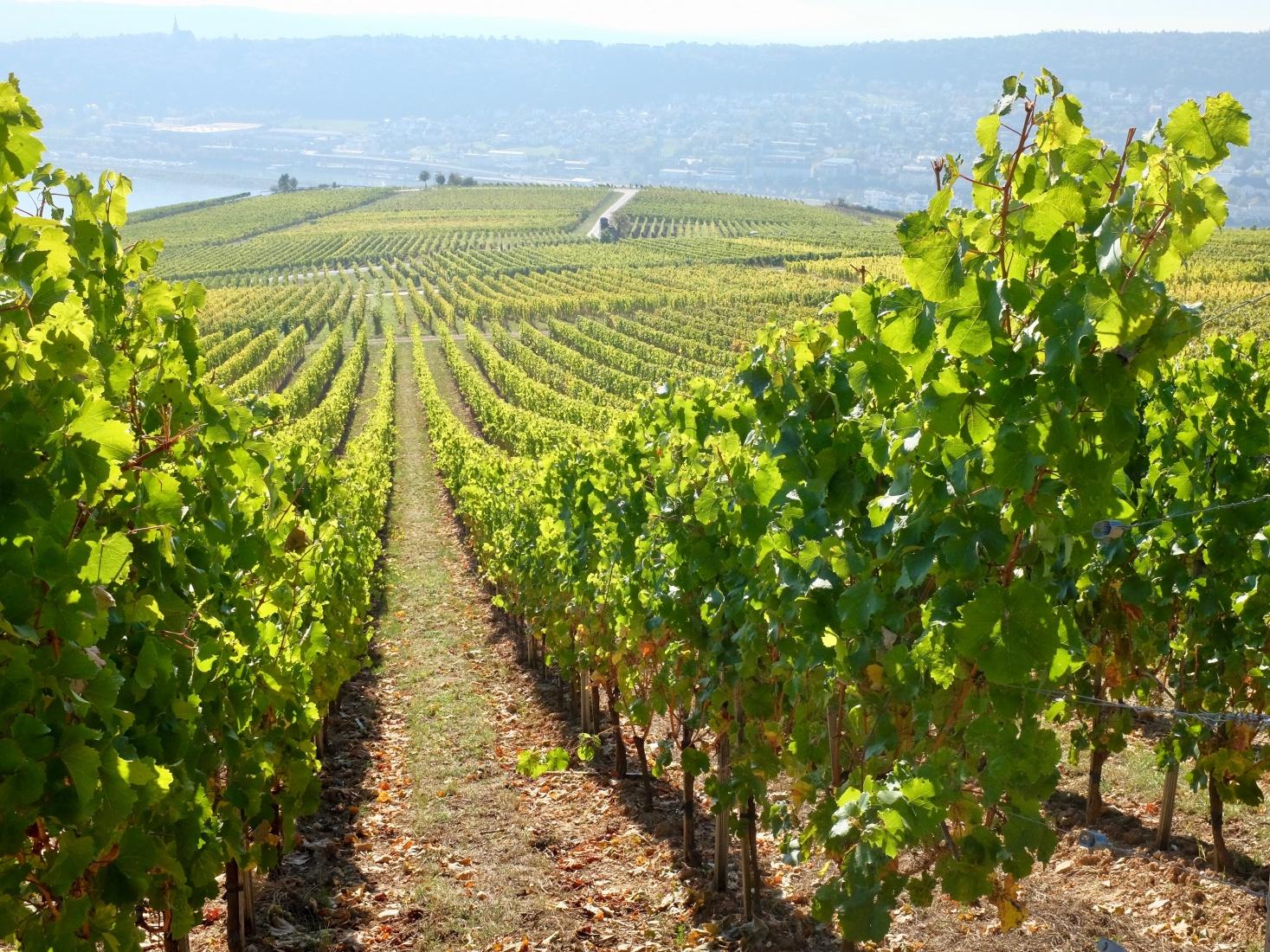Vineyards in Ruedesheim am Rhein, Germany.